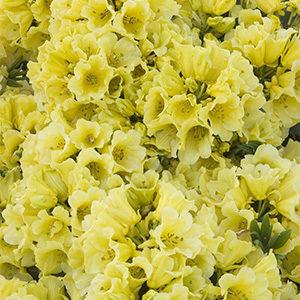 YellowPetticoats300x300-150x150@2x
