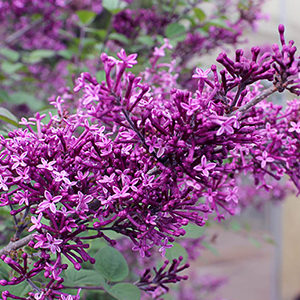 a-Bloomerang-Dark-Purple-Syringa-1-2-150x150@2x