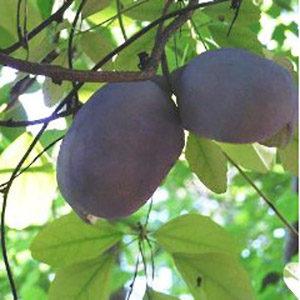 akebiafruits@2x