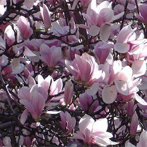 alexander-magnolia-300x300-150x150@2x
