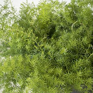 asparagusfern300x300-150x150@2x