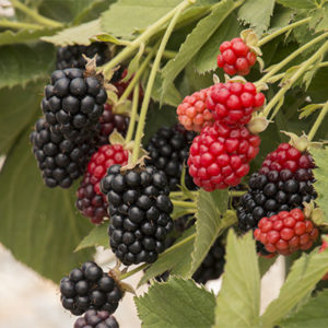 babycakesblackberry400x400-300x300