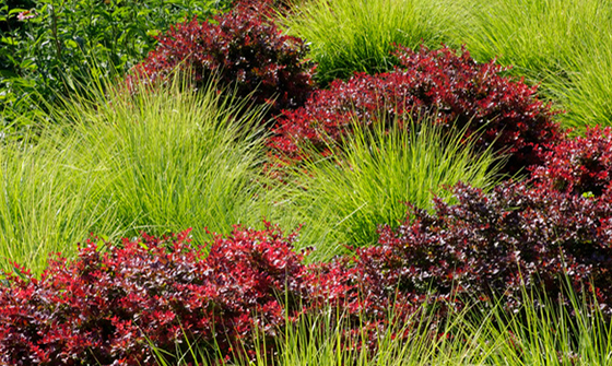 Crimson Ruby® Japanese Barberry with Grass