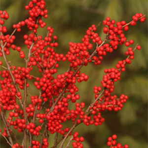 Berry Nice® Winterberry Holly