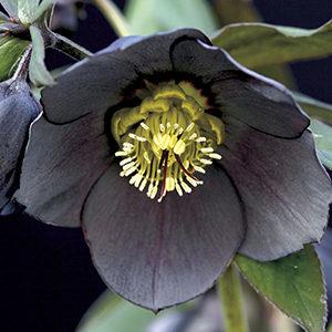 Winter Jewels® Black Diamond Lenten Rose