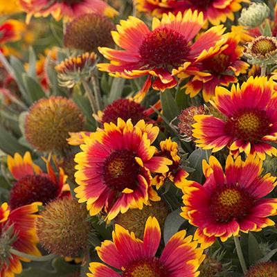 blanketflower400