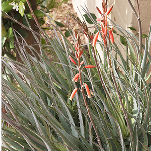 Blue Elf Aloe