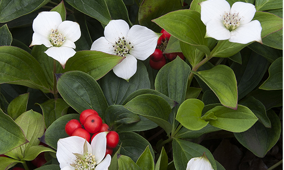 bunchberry560x335