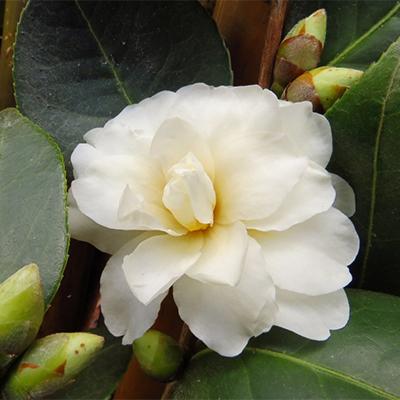 Buttermint Camellia