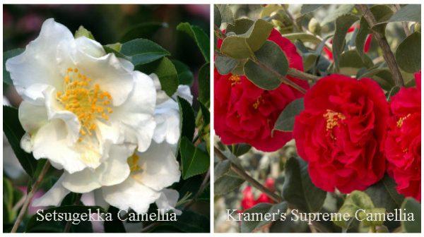 Setsugekka Camellia and Kramer's Supreme Camellia
