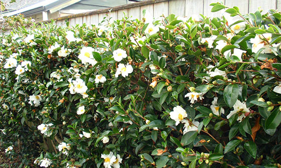 Grow Camellias to hide unsightly views; (image source: unknown)