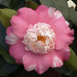 Chandleri Elegans Variegated Camellia