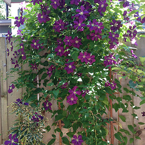 Dressing bare clematis knees