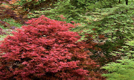 Grow an Asian-inspired garden by grouping Japanese Maple