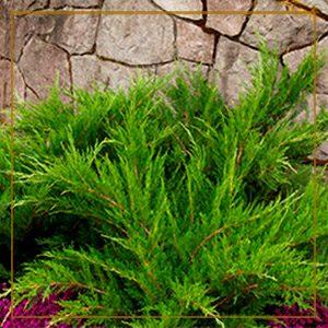 conifer300x300_gold-frame-150x150@2x