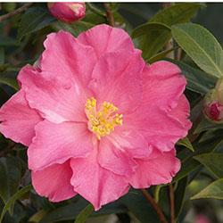 Coral Delight Camellia