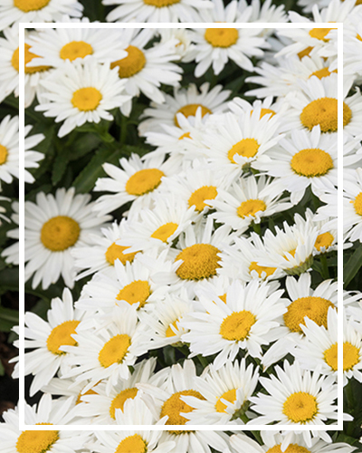 daisy400x500_border
