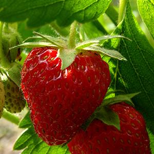 diamantestrawberry300x300