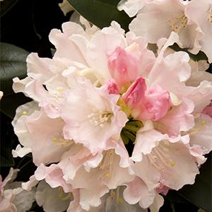 Dreamland Rhododendron