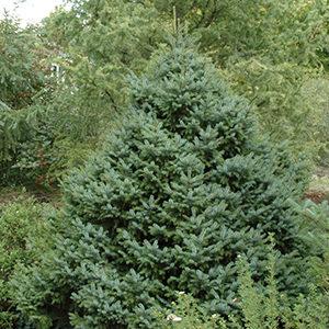 dwarfserbianspruce300x300-150x150@2x