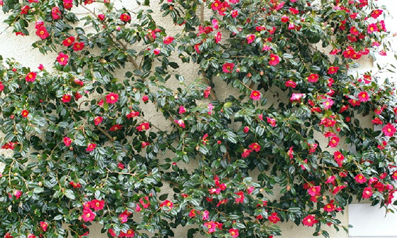 Camellia trained for Espalier; (image source: unknown)