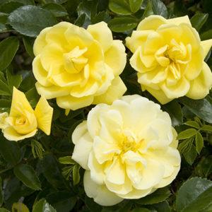 flowercarpetyellow400x400-300x300