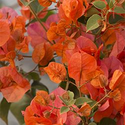 flowers250x250