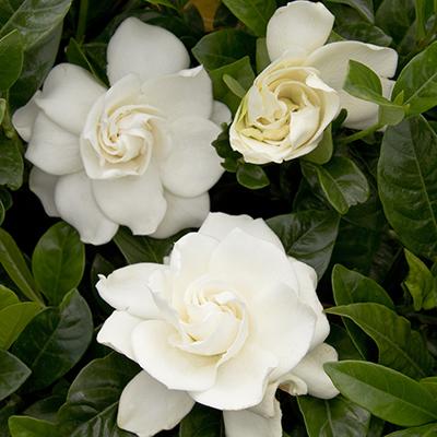 gardenia400