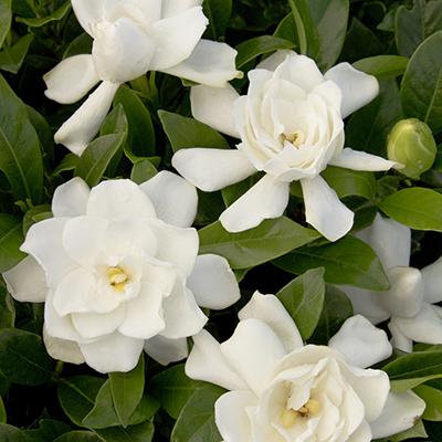 gardenia400x400