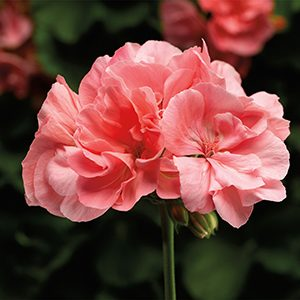 geraniumcalliope300x300-150x150@2x