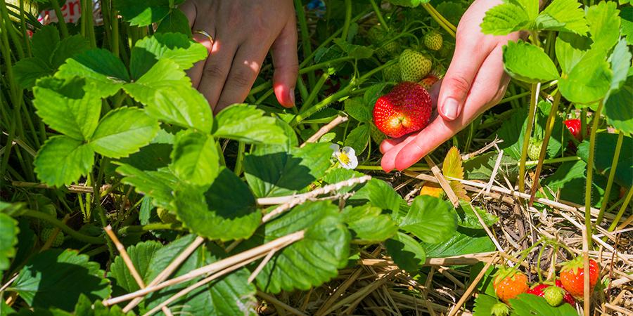 Pick All Ripe Berries