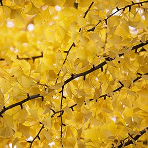 Autumn Gold Maidenhair Tree