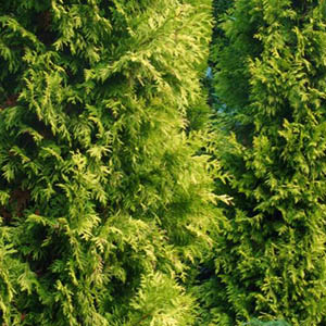 goldenarborvitaecropped