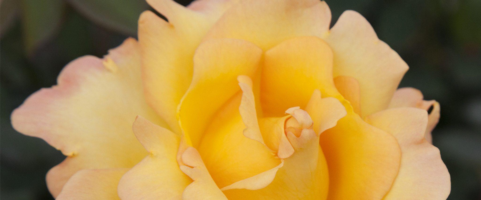 goldgrandiflora1200x500-1024x427@2x
