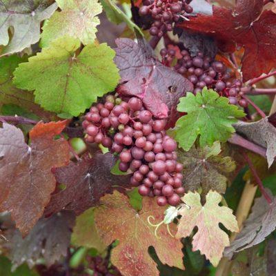 grapes400-400x400