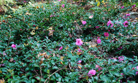 Camellia sasanquas can make for great groundcover; (image source: unknown)