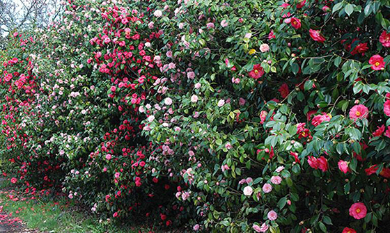 Camellia hedges for beauty and privacy; (image source: unknown)