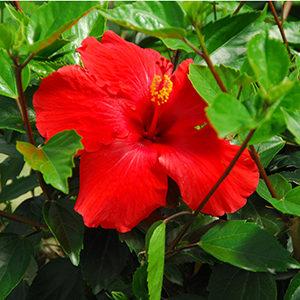 hibiscus300x300-150x150@2x