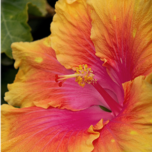 hibiscus300x300