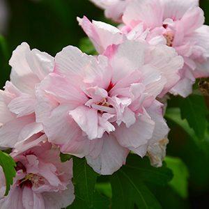 hibiscus_syriacus_blushingbride-300x300-150x150@2x