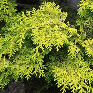 Golden Hinoki False Cypress