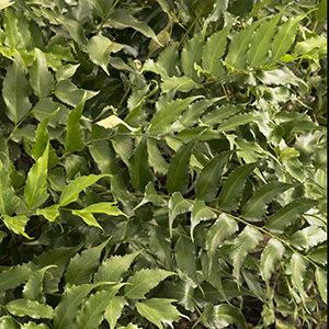 holly-fern-300x300-150x150@2x