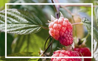 Indian Summer Raspberry
