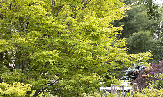 Add height to your garden with these Japanese Maple