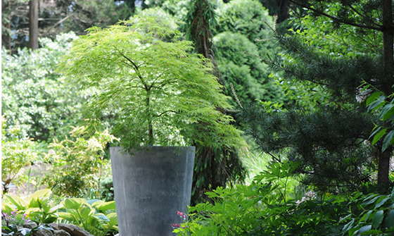 dwarf or grafted Japanese Maple