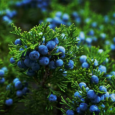 juniperberries400
