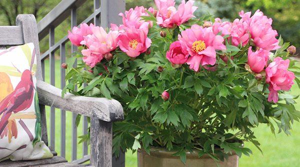 keiko-peony-in-bloom-in-pot-300x167@2x