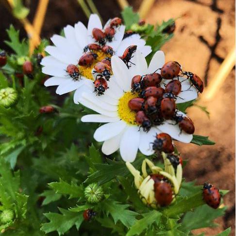ladybugs400