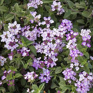 Lavender Swirl® Trailing Lantana