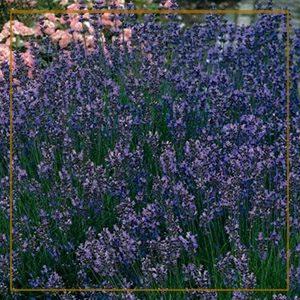 lavender-300x300_goldframe-150x150@2x